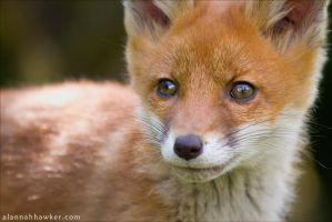 Fox Portrait by Alannah-Hawker