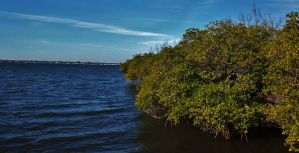 Indian River Mangroves by Matthew-Beziat