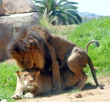 Lions mating 2 by fosspathei