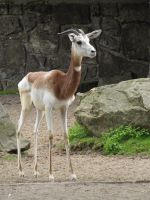 Dama Gazelle 01 by animalphotos