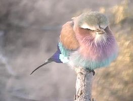 Lilac-Breasted Roller by CiberyanEyes