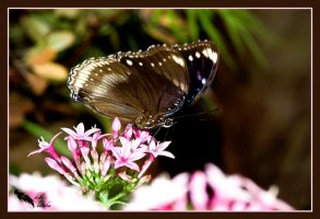 brown and white butterfly by chibiharuka