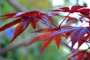 Red Leaves by tAma-93