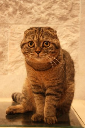 Scottish Fold Cats by Felines101
