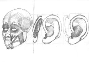 Face Muscles Study Ear by CiNiTriQs