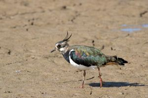 Ruffled Lapwing by parallel-pam
