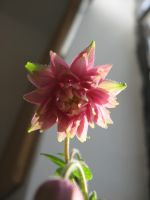 pink flower 05 by CotyStock