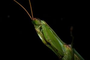 Preying Mantis by TheInnerBeauty