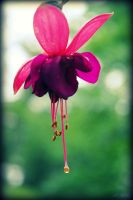 A Flower's Tear by Isika