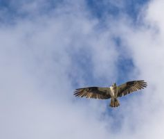 Tahoe Osprey140506-99 by MartinGollery