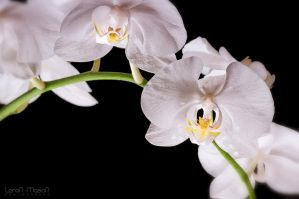 Orchid_2 by LeronMasoN