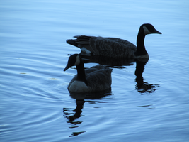 geese by Dezfezable
