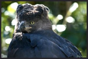Harpy Eagle by shutterbugmom