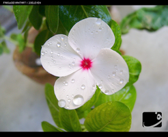 periwinkle.2 by faiis