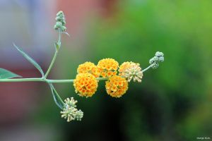 Buddleia globosa by George---Kirk