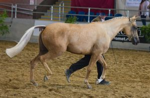 STOCK - 2014 Arabian Gala-208 by fillyrox