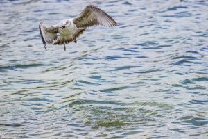 Gull with prize by CyclicalCore