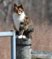 Calico Cat II by MonicaZhen