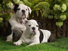 Bulldogs in the Green by Sabrina7777