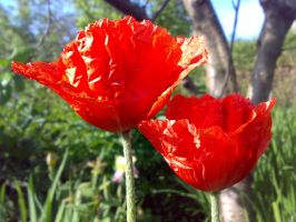 A Couple of Poppies by Metalliana