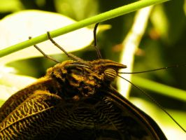 Butterfly 5 by iJustRodeYourBicycle