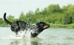 Joyful Rottweiler by KaineHillPhotography