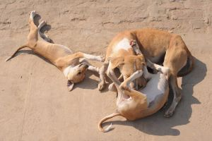 Dogs (Varanasi, India) by drewhoshkiw