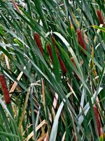 Cat Tails II by Baq-Stock