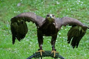 Golden Eagle by LughoftheLongArm