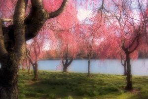 Cherry Blossom Trees by Bass4819