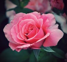 Pink Rose by this-is-the-life2905