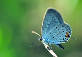 Eastern Tailed Blue by RawPoetry