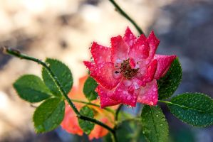 Raindrops and Roses by Linkrules321