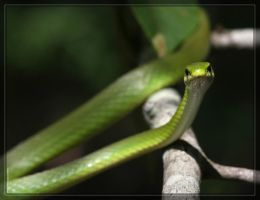 Rough Green Snake 40D0019640 by Cristian-M