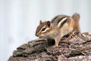 Chipmunk July 7, 2010 4 by UffdaGreg