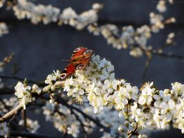 Aglais io and plum flowers by rosaarvensis
