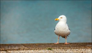 Herring Gull by BFGL