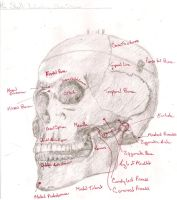 Lab Study: The Skull by DCCourtJester