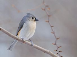 tufted titmouse by filthyhandss