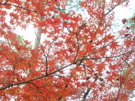 Japanese Maple by mac-chipsie