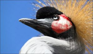 Black crowned crane. by Evey-Eyes