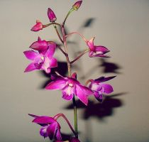 Mini Orchids by nviki89