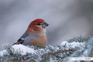Pine Grosbeak by softflower