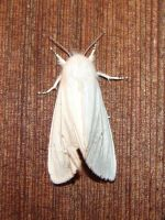 White Virginian Tiger Moth 2 by FantasyStock