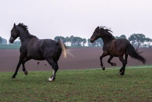 Warmblood and Andalusian Galopping by LuDa-Stock