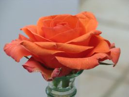 00097 - Orange Rose in Vase by emstock