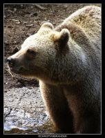 Brown Bear by brander