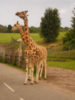 Giraffe I by SkeletorfwStock