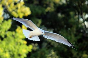 Seagull in flight. by sweatangel