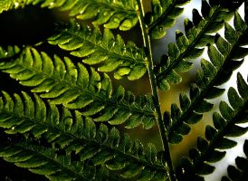 Fern 6 by rongiveans